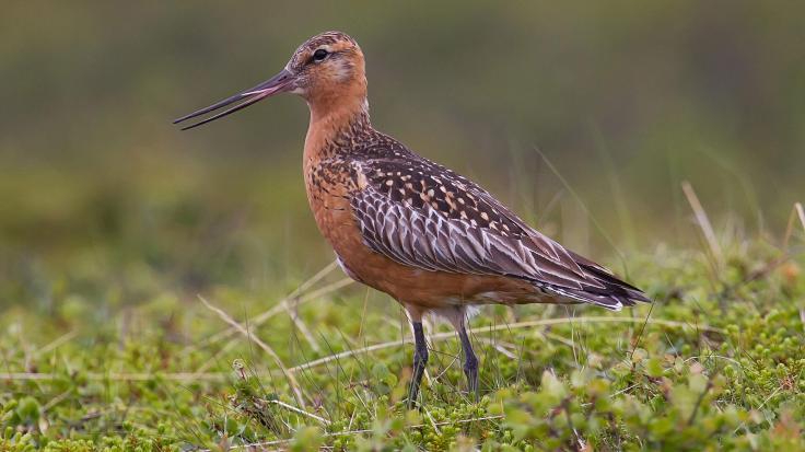 web_bar-tailed-godwit_wiki-3-breeding-adult-male